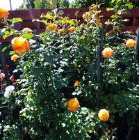 Tequila Sunrise hybrid tea rose 1986