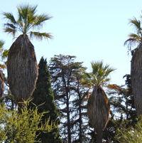 Washingtonia filiferis