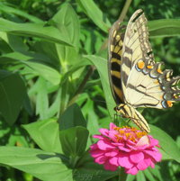 On a Zinnia ..ETS .. wings showing signs of age...