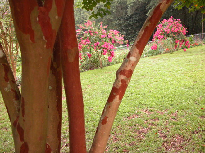 Love the trunks of the Crape Myrtles.