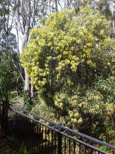 Native Wattle with a ghost Gum