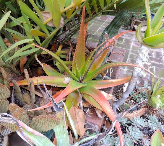 Aloe secundiflora- a very nice, colorful aloe