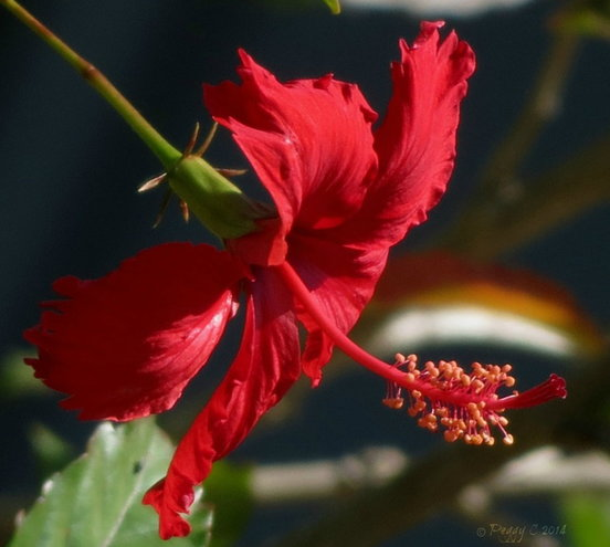 Hibiscus of red - across the fence