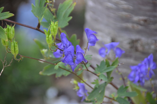 Aconitum uncinatum is a late bloomer for me.