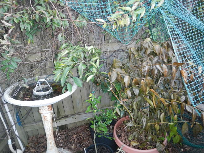 1/12/14.  These were against the fence and covered with a sheet. The Navel orange is OK, but the star jasmine is almost completely brown.