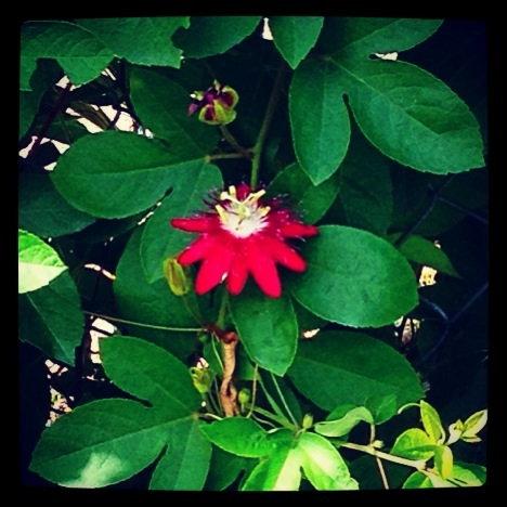 Lady Margaret Passion flower
