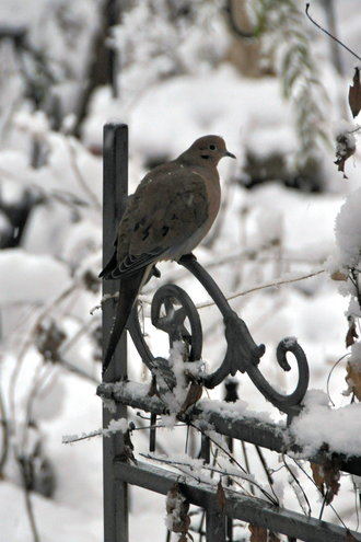 Jan. 19th Mourning Dove checking out the gate in the front garden.