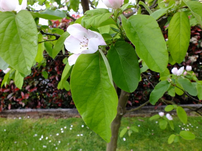 Quince 'Champion' OR 'Rich's Dwarf'?