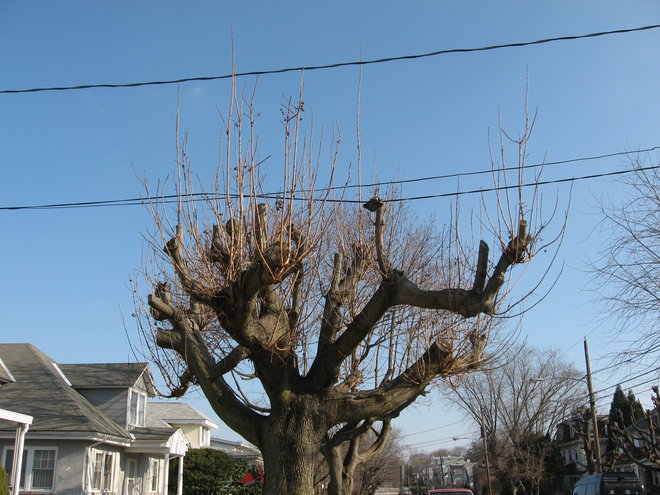 A dear neighbor, as many in this town, think if a tree gets too big, it must be topped. Such huge wounds will never grow over and just get wood rot. Nobody knows how to prune, just wack off plant tops.