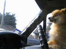 My little dog pancho driving the truck! Lol